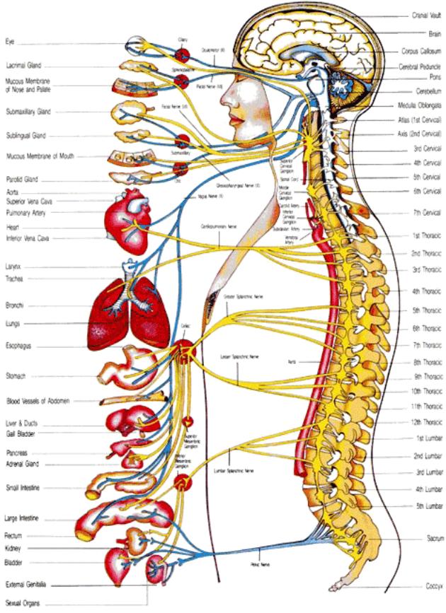 anatomia_chrbtica_20-1-2016