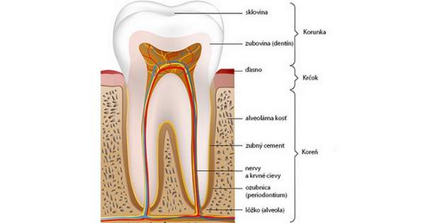 Anatómia zuba