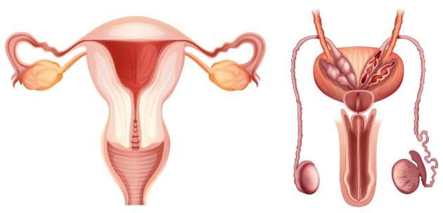 anatómia pohlavných orgánov