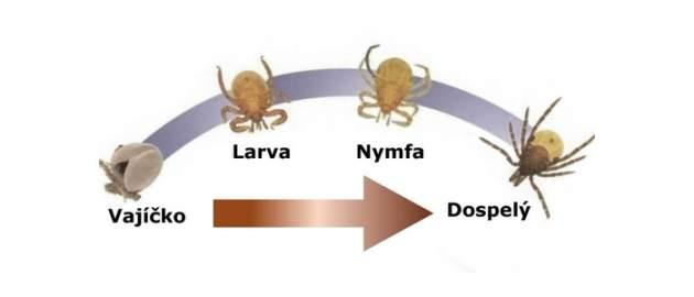 Životný cyklus kliešťa