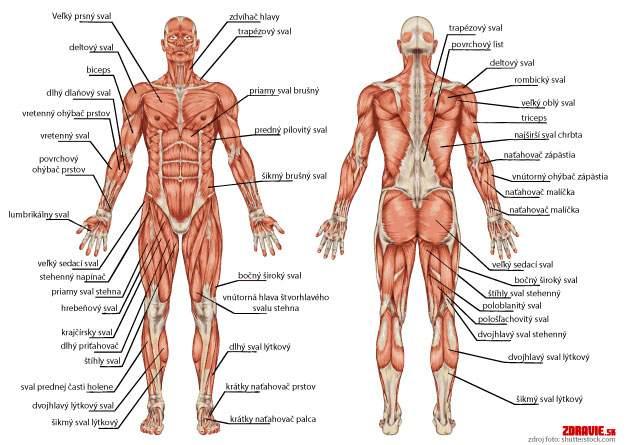 Svalová sústava - svaly
