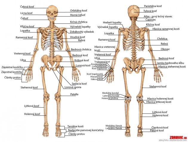 Oporná sústava - kosti
