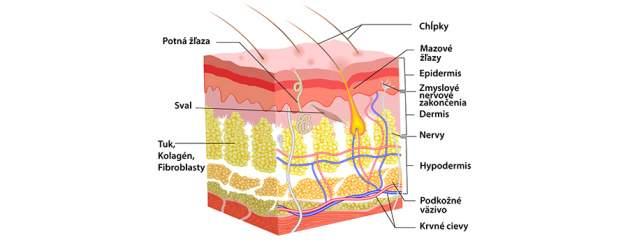 Anatómia kože