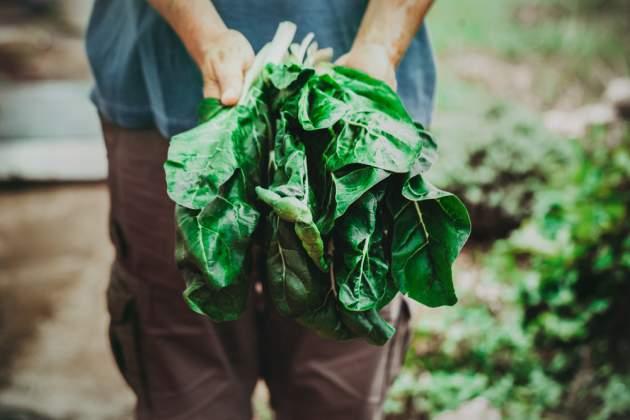 Zelenina mangold