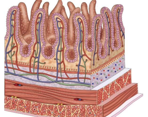 Povrch tenkého čreva