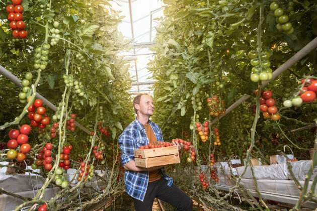 Zber paradajok