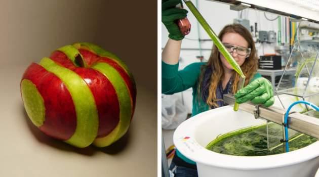 vedci vytvorili hybridné jablko krížením odrôd