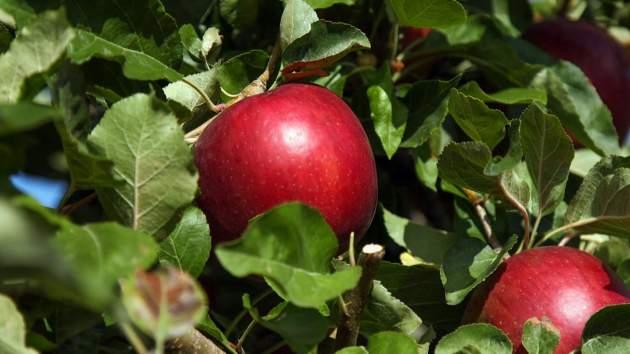 hybridné jablká Cosmic Crunch