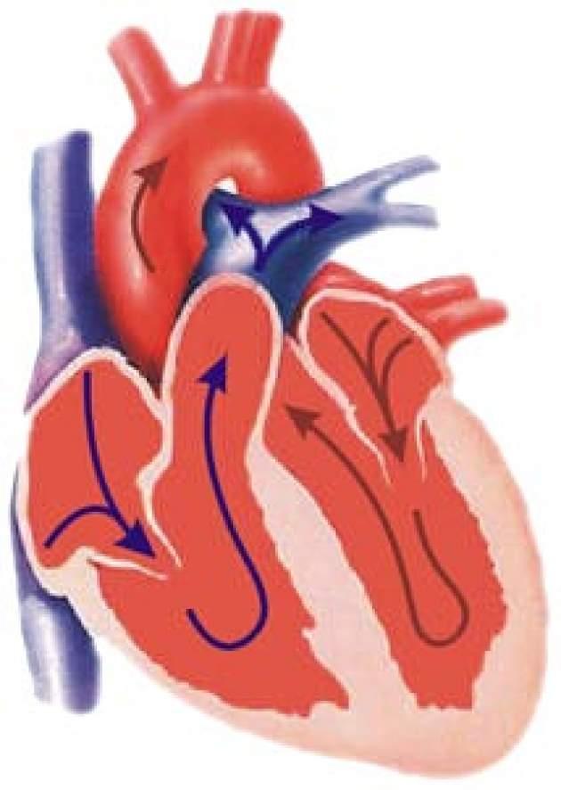 Srdce - nákres