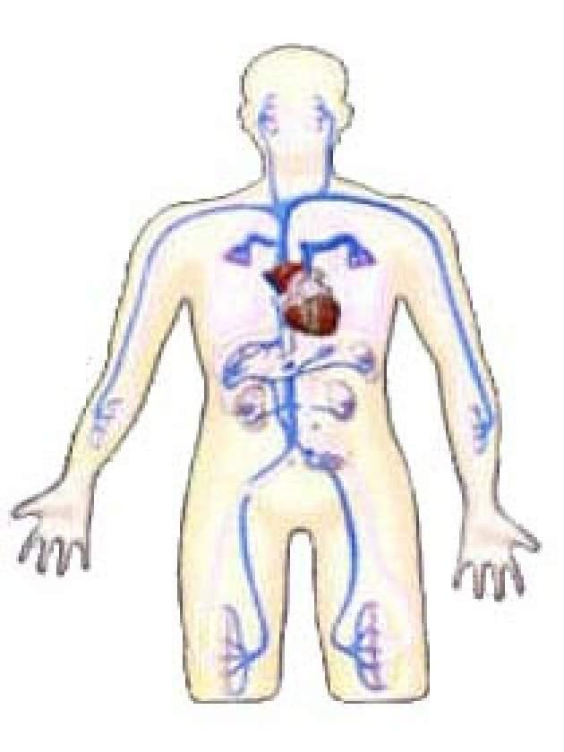 Venózny systém