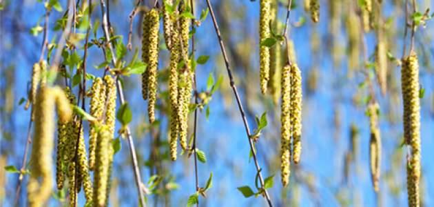 peľ brezy