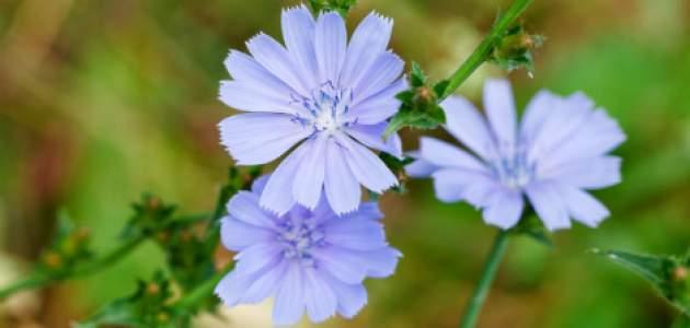 Kvet čakanky