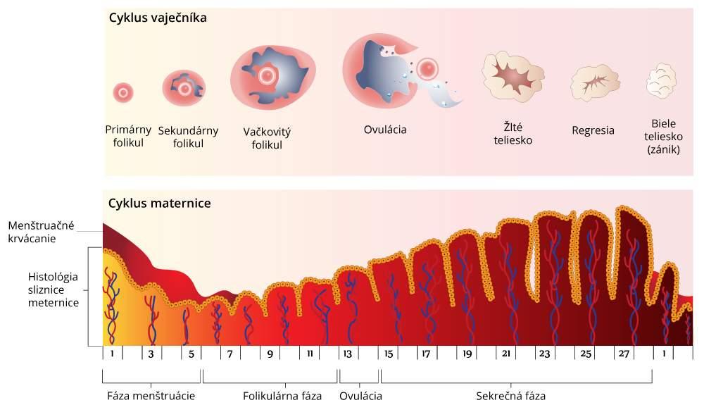 Оварио менструальный цикл