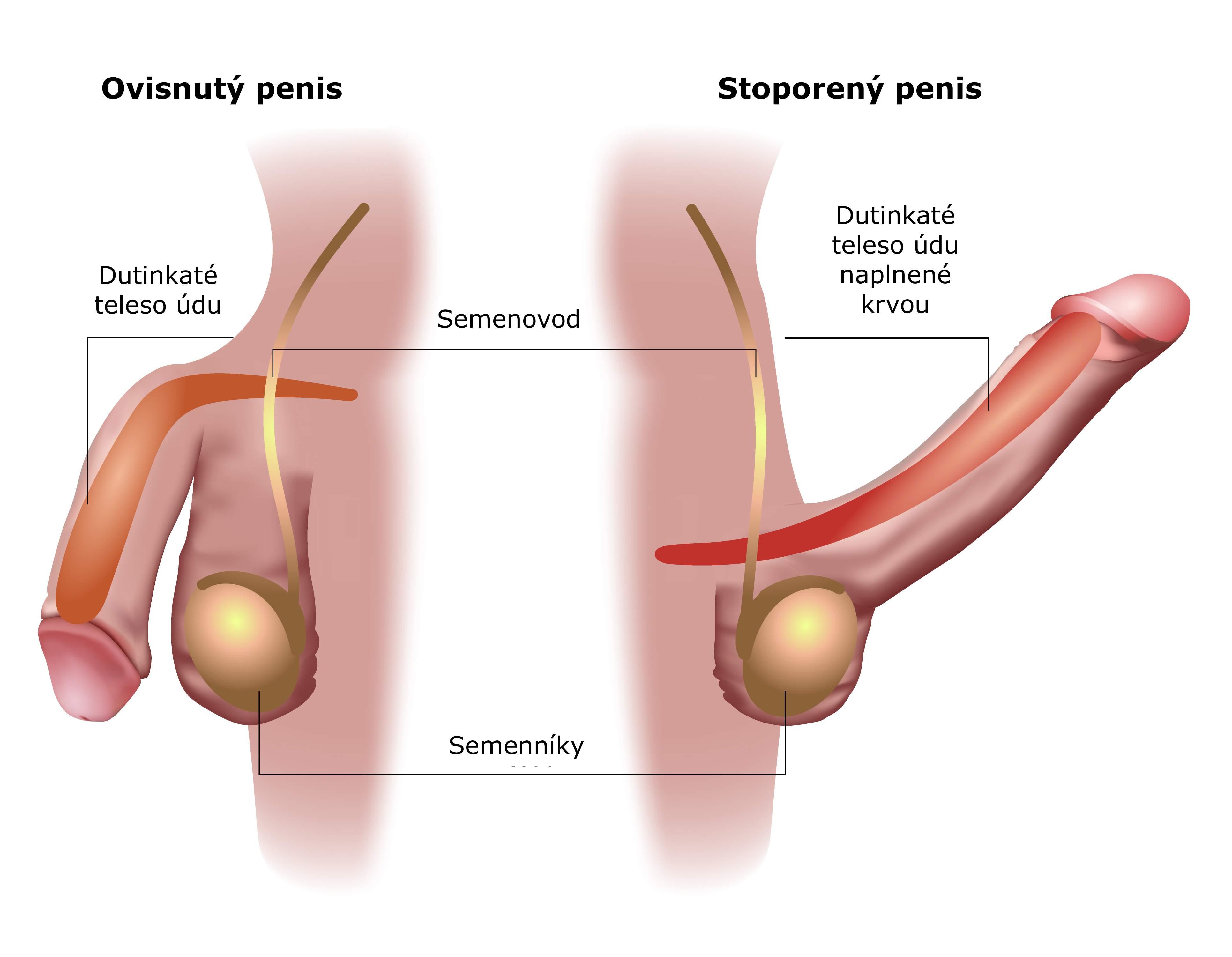 Obrázky mužského penisu