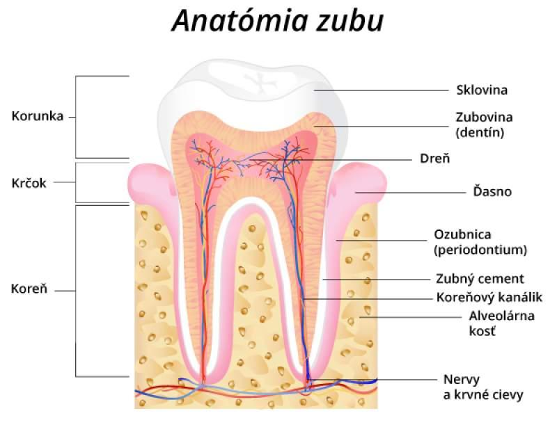 Anatómia zubu