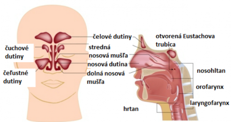 Anatómia nosa