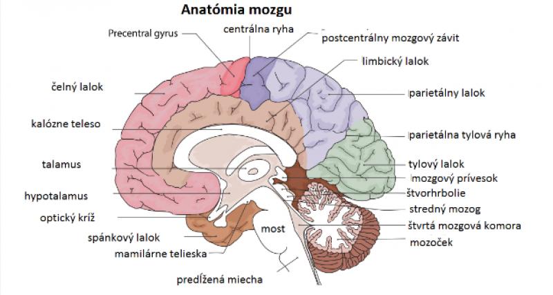 Anatómia mozgu