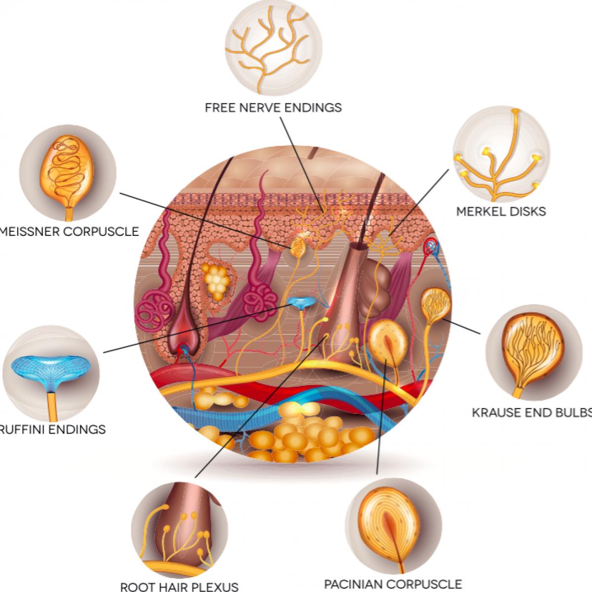 receptores citoplasmaticos de hormonas esteroideas