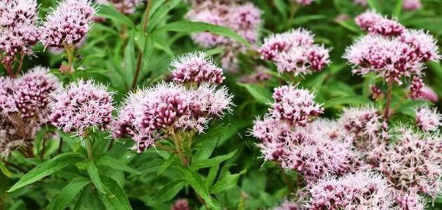 Valeriána lekárska (Valeriana officinalis L.)