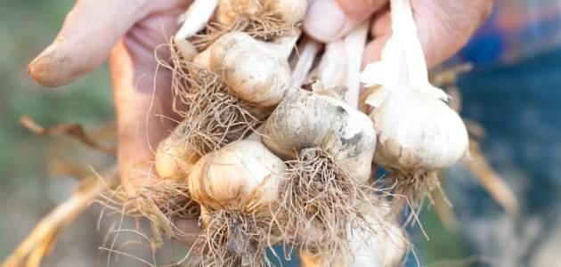 Cesnakár - slovenský pestovateľ v boji proti nekvalitnému čínskemu cesnaku