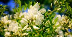 Čaj z agátového kvetu vám pomôže pri trávení a prečistení organizmu. Ako si ho pripraviť?
