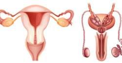 Anatómia a fyziológia pohlavných orgánov