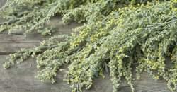 Palina pravá ako prírodný liek na problémy s trávením