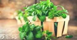 4 liečivé účinky mäty piepornej