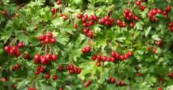 Využite posledné dni na zber plodov hlohu: rozširujú cievy a znižujú hladinu cholesterolu