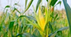 Kukurica je vhodná pre vegeteriánov, vegánov i celiatikov