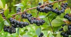Arónia spomaľuje starnutie a pomáha pri hnačke. Už v auguste sa dajú zbierať plody.