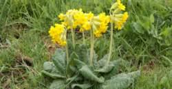 Prvosienka patrí k prvým jarným bylinkám: nazbierajte si ju a zbavte sa niekoľkých zdravotných problémov