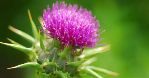 Pestrec mariánsky – top bylinka na detox pečene